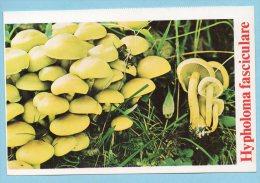Immagine Con Fungo - Hypholoma Fasciculare - Schede Didattiche