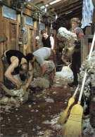SHEEP SHERING (New Zealand) - Neuseeland