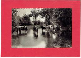 DAILLANCOURT 1951 TROUPEAU DE VACHES CARTE EN BON ETAT - Autres Communes