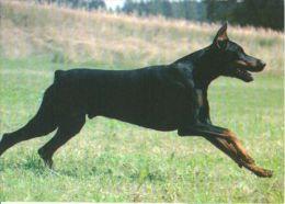 DOGS / HUNDE / CHIENS /  -    DOBERMAN  Postcard   Unused   ( P 2757 ) - Dogs