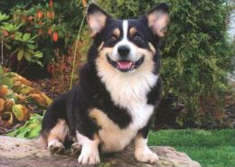 DOGS / HUNDE / CHIENS /  -   WELSH CORGI  Postcard   Unused   ( P 2764 ) - Dogs
