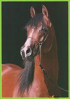 "Voyo HORSE ARABERHENGST ""Fynd"" 1997  Zofia Raczkowska MINT Nr 12-81 - Chevaux"