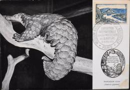 C.P. 1955 - Mammifère - Fourmilier écailleux - Le Pangolin Géant - Paris Le 14 & 15.05.1955 - En Parfait Etat - - Francobolli