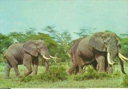 ELEPHANTS  Postcard Unused   ( Z 307 ) - Elephants