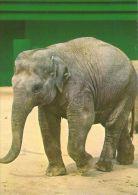 ELEPHANTS  Postcard Unused   ( Z 308 ) - Elephants