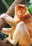 Postcard Proboscis Monkey - Singes