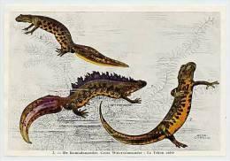 FORT - Kikvorsachtigen-Reptielen Batraciens-Reptiles - 2 - Salamander, Salamandre - Chromos