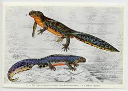 FORT - Kikvorsachtigen-Reptielen Batraciens-Reptiles - 3 - Salamander, Salamandre, Triton - Cromo