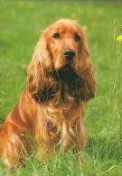 DOGS / HUNDE / CHIENS /  -    COCKER SPANIEL  Postcard   Used   ( P 2865 ) - Hunde