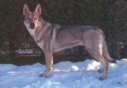 DOGS / HUNDE / CHIENS /  -    CESKOSLOVENSKY VICAK  Postcard   Unused   ( P 2884 ) - Dogs