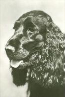 DOGS / HUNDE / CHIENS /  -    COCKER SPANIEL  Postcard   Unused   ( P 2888 ) - Hunde