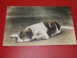 CHIENS -  Chien Au Repos  - 1907  -  (2 Scans) - Cani