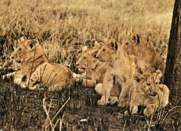 LION CUBS ( Pantheraleo Massaica) In Nairobi National Park Recto Verso Beau Timbre - Kenya