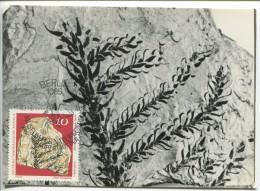 Paleontological Plants - Lebachia speciosa