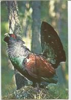 Grouse - Tetrao Urogallus - Oiseaux
