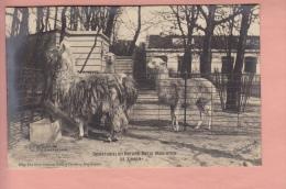 OLD POSTCARD ZOO  AMSTERDAM  NATURA ARTIS MAGISTRA  1903  LAMA PHOTO W. VOGT - Animaux & Faune
