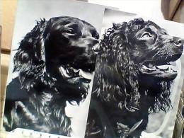 4 CARD CANE CANI DOG COKER SPANIEL   N1950/65  EW1450 - Hunde
