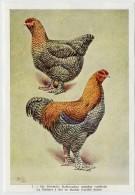 Fort - Hanen En Hennen - Coqs Et Poules - Roosters And Hens, Kippen, Poulets, Chickens - 7 - Unclassified