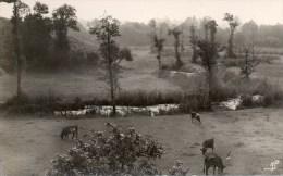 Muzillac. La Rivière Saint-Eloi. (Vaches Dans Un Pré). - Muzillac