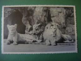 Dierentuin ANTWERPEN Jardin Zoologique ANVERS --- Leeuw En Leeuwin --- Lion Et Lionne - Lions