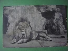 Dierentuin ANTWERPEN Jardin Zoologique ANVERS --- Lion - Lions