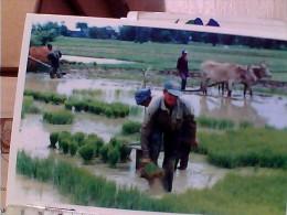 CAMBOGIA KHMER FARMER COLTIVANO RISO 1990  EW1668 - Cambogia