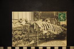 CP, 75, PARIS Jardin Des Plantes Halitherium Schinzi Cetacé Fossile Sorte De Lamatin - Sin Clasificación