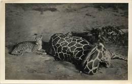 Pays Divers- Afrique -ref D763- Carte Photo  Les Fauves Du Kenya -panthere Et Girafe  - Carte Photo Bon Etat   - - Kenya