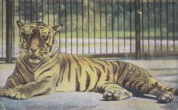 ZOO ANIMAL. TIGER, LONDON ZOO. - Tigers