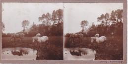 Vieille Photo Stereoscopique Journy Pas De Calais Chevaux S Abrevant Pres D Un Etang Septembre 1925 - Stereoscopic