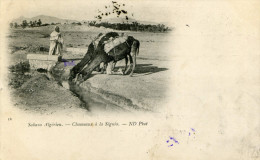 Sahara Algérien - Chameaux à La Séguia  (a Voyagé En 1901 Au Départ De Tunis - Timbre Régence De Tunis) - Sahara Occidental