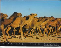 24538- KUWAIT- CAMEL HERD - Koweït