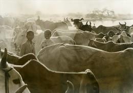 Inde Scène De La Vie Quotidienne Enfants Et Troupeau De Vaches Ancienne Photo 1960 - Photographs