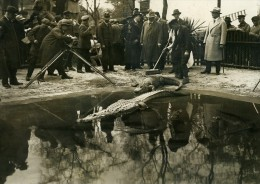 Allemagne Berlin Zoo Alligators Cinéaste Reporter Ancienne Photo Scherl 1925 - Unclassified