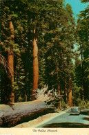 Etats-Unis - Arbres - Voitures - Automobile - California - Yosemite National Park - The Fallen Monarch - état - Yosemite