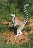 Postcard - Ring-tailed Lemur At Monkey World. 5-02-18-05 - Monkeys