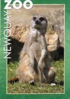Postcard - Meerkat At Newquay Zoo. C-34346X - Animals