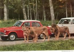Postcard - Lions At Longleat. 2EAT2 - Lions