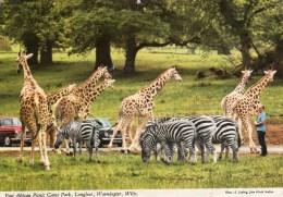 Postcard - Giraffes & Zebras At Longleat. 2EAT8 - Giraffes