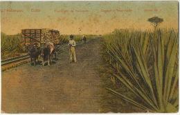Matanzas Transporte De Henequen Hennequen Leaves Agave Cactus - Cuba