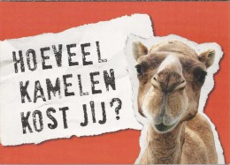 Boomerang Kaart - Hoeveel Kamelen Kost Jij? Terre Des Hommes. Kameel. - Publicité