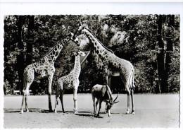 4942  Cpa  FRANKFURT Am Main , Zoologischer Garten , Massai Giraffen - Frankfurt A. Main