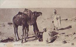 Afrique Du Nord     41   Désert Du Sahara.Chamelier Faisant Manger Les Chameaux - Cartes Postales