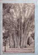 CPA - Colombo (Sri Lanka) - 218. Gigantic Bamboos - Peradeniya Gardens - Sri Lanka (Ceylon)
