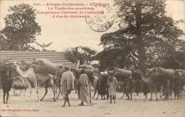 Cpa Senegal La Traite Des A Dos De Chameaux Arachides - Senegal