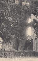 76 ALLOUVILLE BELLEFOSSE LE Gros Chêne Cet Arbre Agé De 1000 Ans Et Renferme 2 Chapelles Neuve - Allouville-Bellefosse