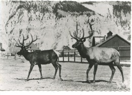 Rennes Du Wyomong (animaux Faune N°114) - Etats-Unis