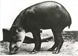 Amérique Du Sud : Tapir D'Amérique Du Sud (animaux Faune N°126) - Sonstige