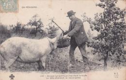 CPA Animée (24)  PERIGORD Cochon Truffier Porc Pig Truffe Mushroom Trufficulture - Zonder Classificatie