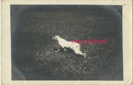 1914-chien épagneul Breton-star De Cosquérou-éleveur Dresseur- F. Mège-field Trials-lire Nom Et Pedigree -carte Photo - Other